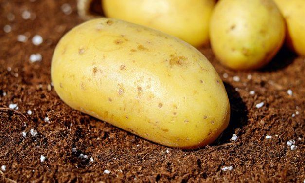 Expression : pomme de terre en robe des champs